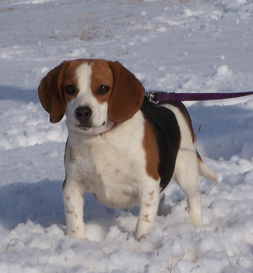 Pocket And Mini Beagles Things To Know Before You Buy