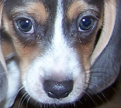 Blue Eyed Beagle