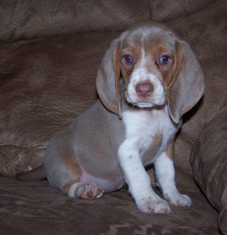 Gray Beagle Puppies For Sale Goldenacresdogscom