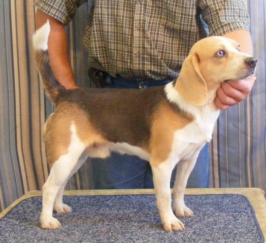 Pocket beagle size compared regular beagle