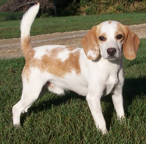 Red and White Beagle