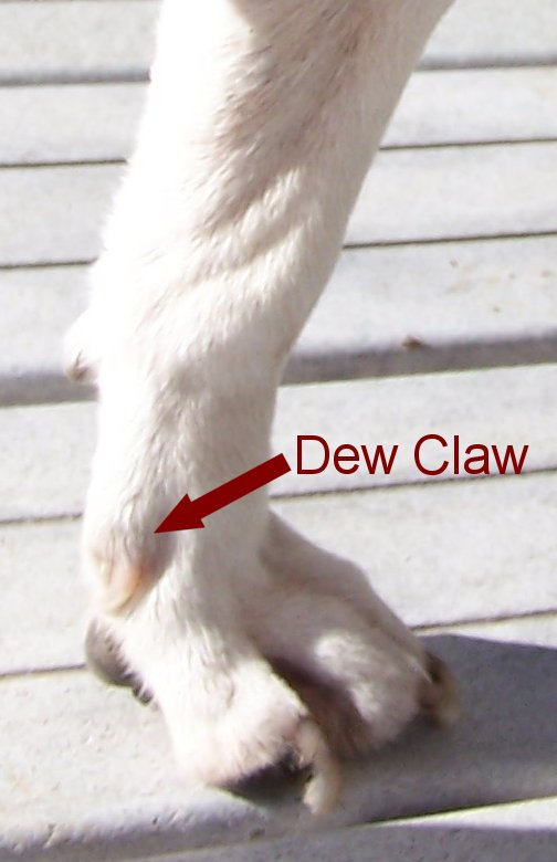 Do Dogs Have Dew Claws