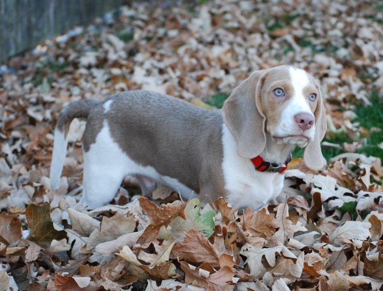 Lilac Dog Breeds