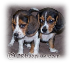 POCKET AND MINI BEAGLES: Things to know before you buy